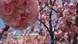 Many different types of flowers are seen blooming on campus in the spring